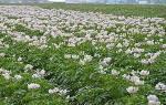 Гербициды Титус и Лазурит для обработки картофеля против сорняков + видео