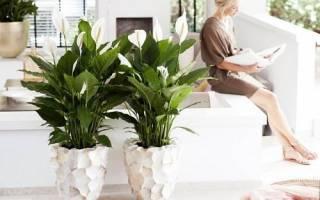 Как ухаживать за цветком спатифиллумом, видео