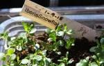 Выращивание рассады ибериса для раннего цветения, видео