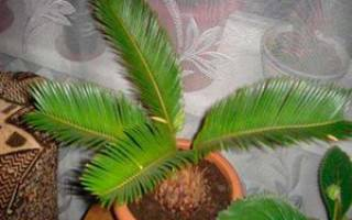Домашние пальмы — разновидности комнатных пальм, фото с названиями, видео