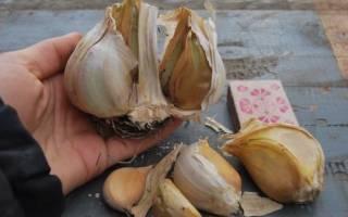 Когда сажать лукочеснок Рокамболь, описание растения, видео
