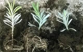 Размножение лаванды — самопроизвольные сеянцы, отводки, черенки, видео