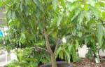 Дерево манго в домашних условиях, как вырастить, описание, фото, видео