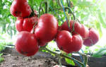Помидор Розовый мед — характеристики сорта, особенности посадки и ухода, видео