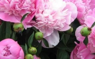Подкормка пиона — когда и какие удобрения вносить для цветения, видео
