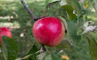 Сорт яблони Услада — описание сорта, посадка и уход, обрезка, видео