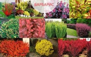 Фото живой изгороди из декоративного барбариса в ландшафтном дизайне, видео