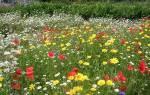 Цветы для газонов, цветущие все лето, виды и сорта, видео