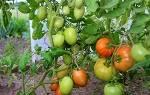 Видео выращивание томатов в открытом грунте