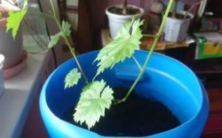 Как вырастить куст винограда из косточки дома, видео