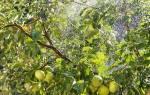 Почему яблоня сбрасывает яблоки, что делать и чем подкормить яблоню во время плодоношения + видео