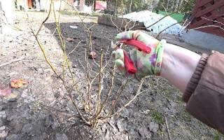 Тонкости обрезки голубики — формировка крепкого куста, видео