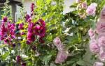 Шток-роза — посадка и выращивание, уход, фото