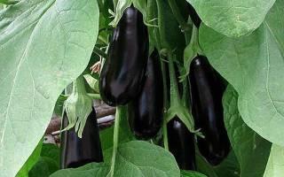Баклажаны — выращивание, болезни, почему желтеют, видео