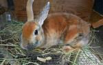 Разведение кроликов в домашних условиях для начинающих, выращивание и содержание в клетках, видео