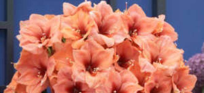 Гиппеаструм отцвел — что делать, уход после цветения, видео