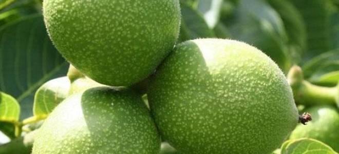 Грецкий орех Идеал — описание сорта, посадка и выращивание ореха саженцами или семенами, видео