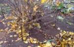 Осеннее внесение удобрений под виноград и смородину: какие подкормки и когда их делать, видео