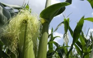 Кукурузные рыльца — лечебные свойства, показания и противопоказания к применению, как заваривать, видео