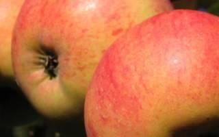 Сорт яблок Штрифель — описание, правила посадки саженцев и ухода