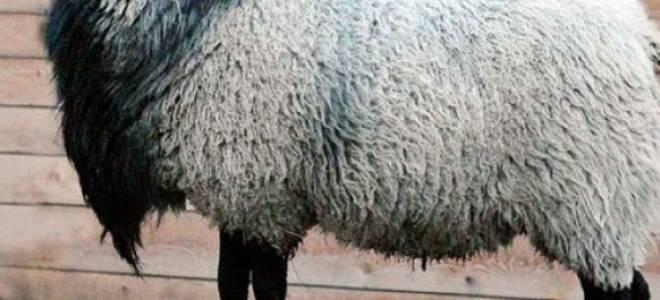 Романовская порода овец — характеристика, особенности содержания и разведения, шерсть, фото, видео
