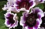 Глоксиния — посадка клубня растения, уход и выращивание клубневой глоксинии, видео