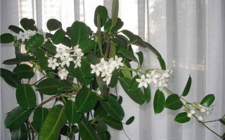 Жасмин цветок — фото и описание голоцветкового, Мадагаскарского, Самбак, многоцветкового, крупноцветкового, японского жасмина, видео