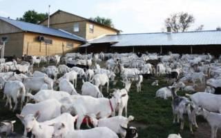 Выбор дойной козы — этап развития козоводства и формирования стада, видео