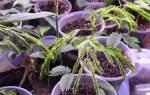 Выращивание акации из семян — использование нескольких эффективных способов, видео