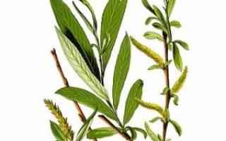 Полезные свойства листьев ивы — Glav-Dacha.ru