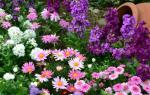 Многолетние цветы для бордюров — особенности выбора, видео