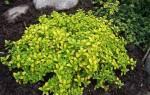 Тимьян лимонный — сорта, особенности выращивания, видео
