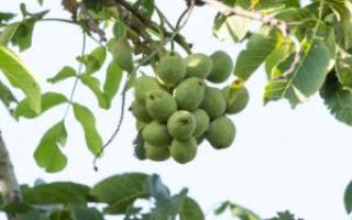 Чем опрыскивать орех весной, болезни и вредители, видео