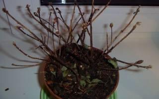 Азалия домашняя опадает, засыхает, сбрасывает листья, видео