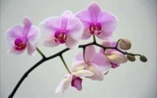Почему не цветет орхидея в домашних условиях, а листья продолжают расти, как заставить растение выбросить бутоны, видео