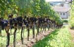 Навес, шпалера для винограда своими руками + видео