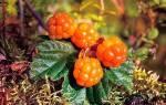 Лечебные свойства морошки — как применять ягоды, листья, видео