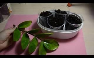 Как размножается замиокулькас листом, клубнями и черенками в домашних условиях, видео