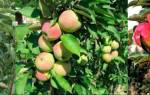 Посадка колоновидной яблони, уход летом, схема обрезки + видео