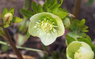 Лечебные свойства морозника — применение корней, листьев, видео
