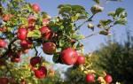 Яблоня — выращивание дерева из корнесобственных саженцев, видео