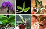 Как размножить орхидею в домашних условиях черенками и другими способами, видео