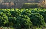 Капуста листовая — виды, сорта, выращивание + видео