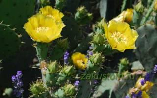 Выращивание в открытом грунте кактуса опунция, зимостойкие сорта