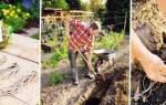 Аспарагус овощной — правила посадки и ухода в открытом грунте, видео