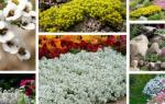Алиссум скальный — лучшие сорта, особенности выращивания, видео