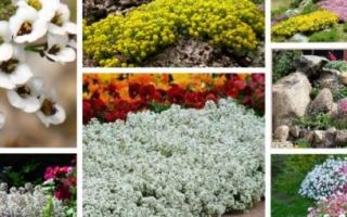 Алиссум горный, описание растения, посадка и уход, видео