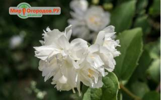 Жасмин садовый — чубушник махровый, особенности растения, популярные сорта, видео
