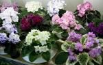 Сенполия — уход, выращивание, вегетативное размножение узамбарской фиалки в домашних условиях,фитильный полив, видео