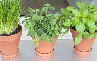 Пряная зелень на подоконнике — правила посадки, выращивания, уход, видео
